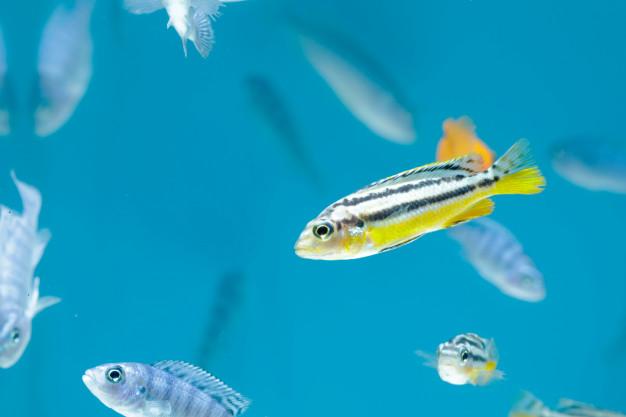 Biólogos rusos descubren que los peces cebra danio también sedesesperan